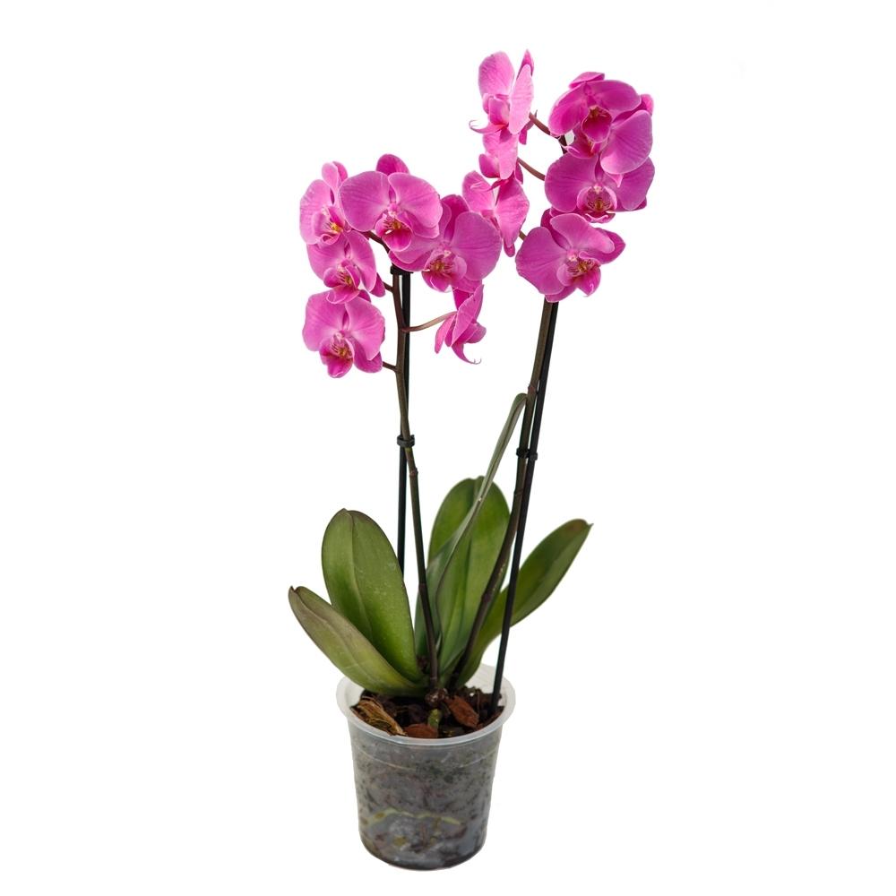 картинки комнатная орхидея является одним