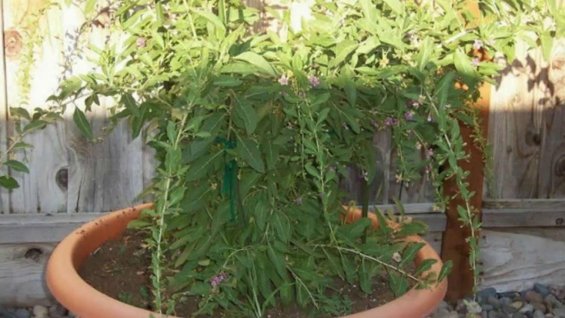 Почва должна быть рыхлая, легкая, с нейтральной или слабощелочной кислотностью