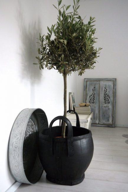 Оливковое дерево, пережившее несколько пересадок