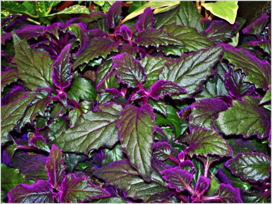Распространенный вид в комнатном цветоводстве