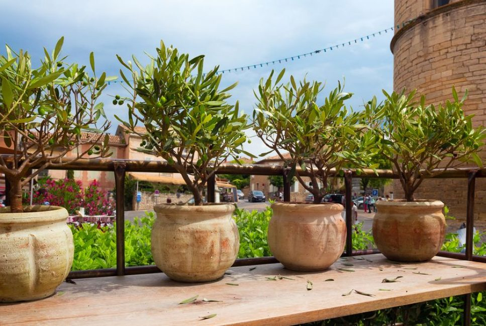 Глиняные горшки с оливками после первой пересадки