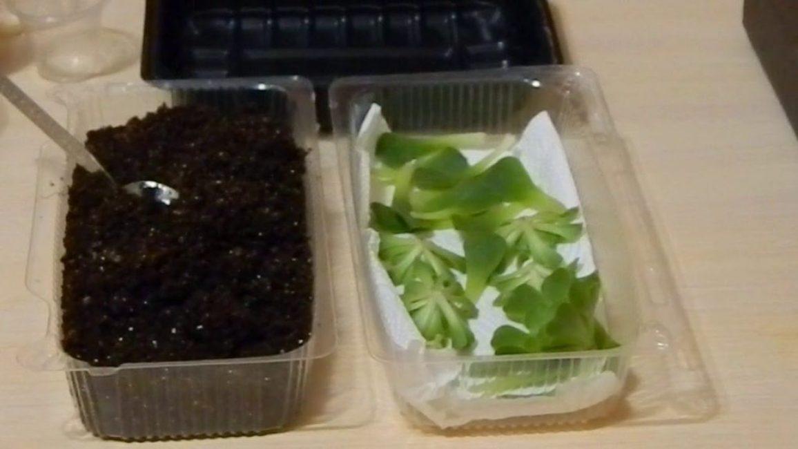 Размножение молодила при помощи листовых черенков