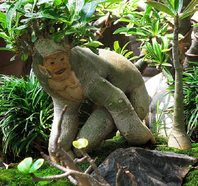 Адениум – обезьянка