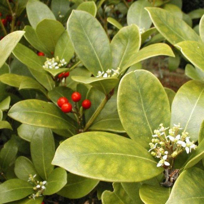 Аукуба цветок