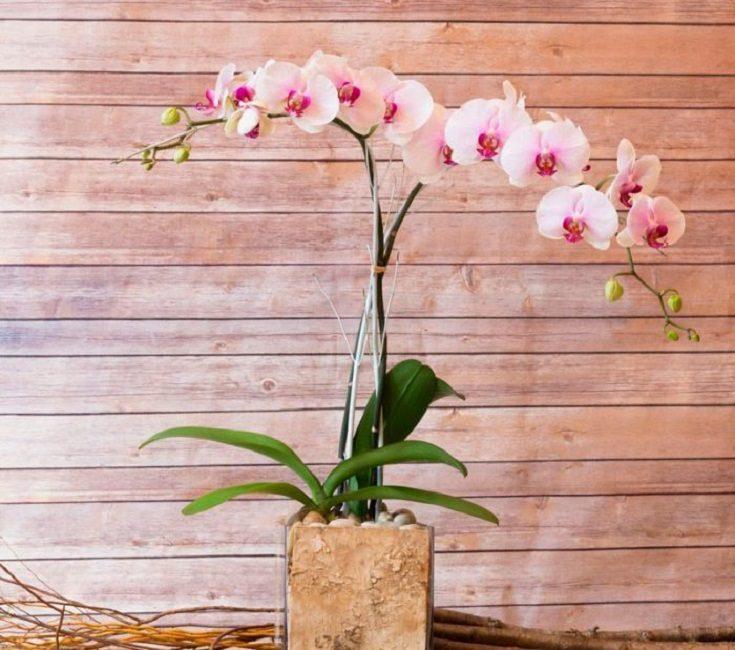 Белые цветки с нежным малиновым напылением