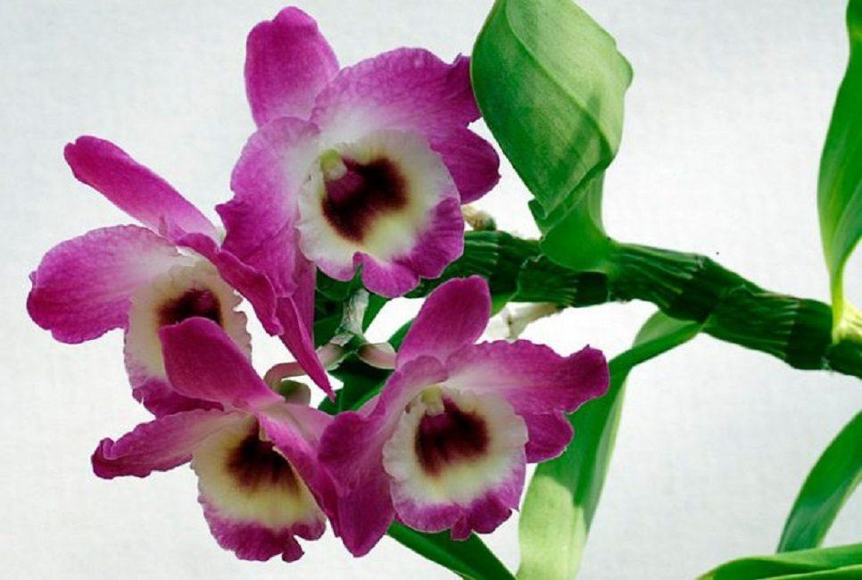 Фото: Dendrobium nobile