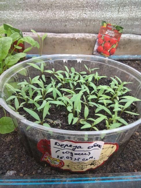 Годжи: выращивание из семян в домашних условиях
