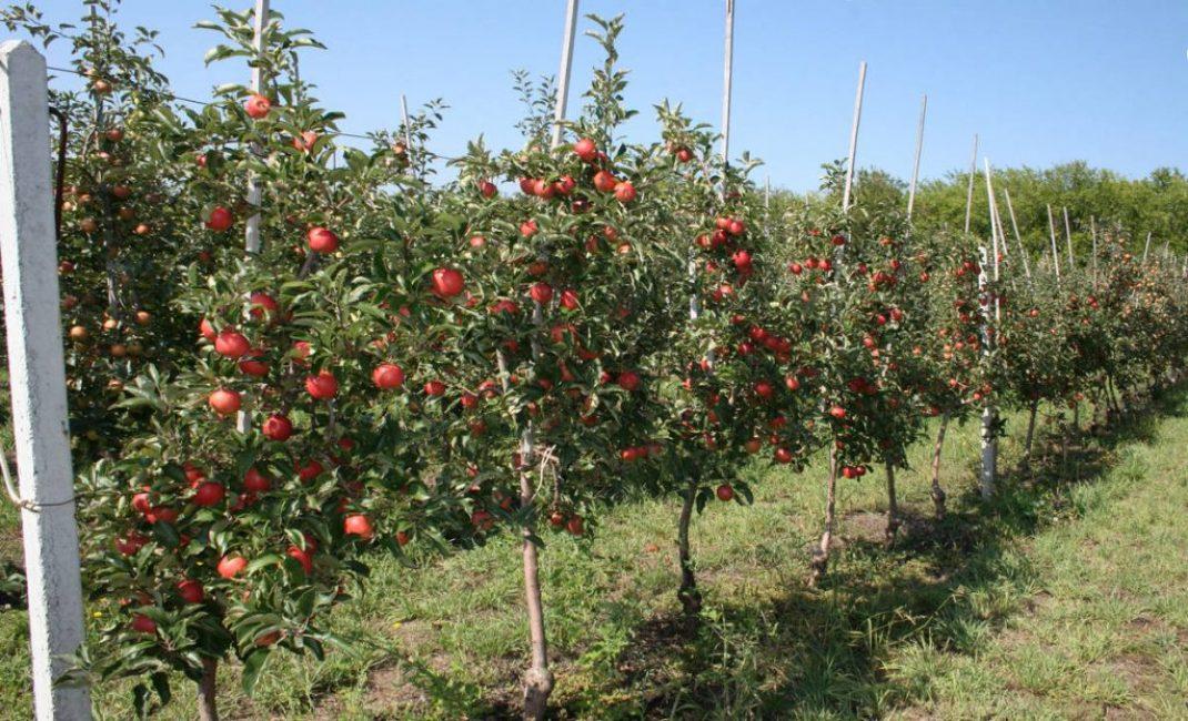 Карликовые яблони