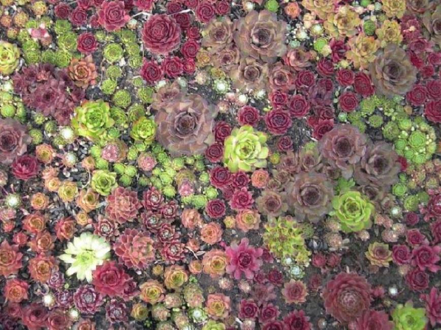 Ковёр со сложным рисунком из различных гибридов каменной розы