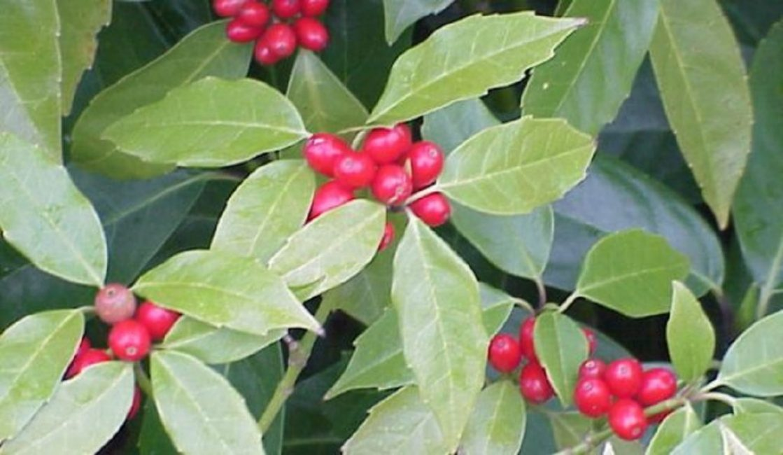 Красные ягоды на растении