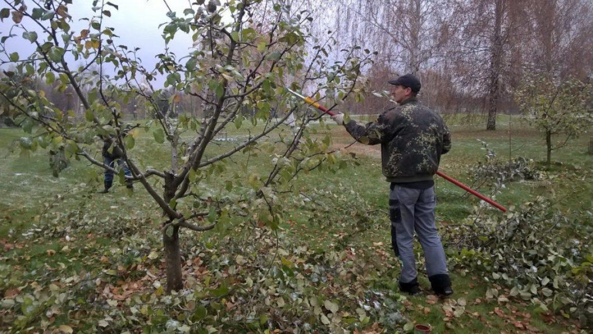 Обрезка карликовых яблонь осенью