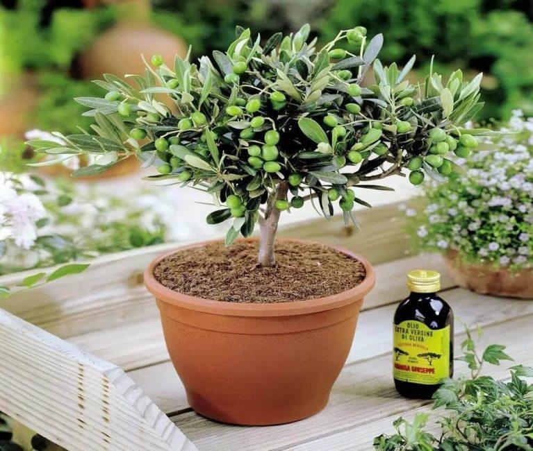 Оливковое дерево, выращивание в домашних условиях