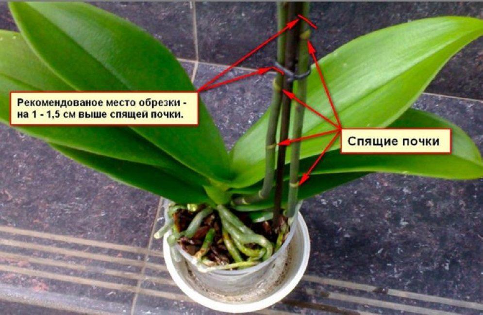 Особенности обрезки фаленопсиса
