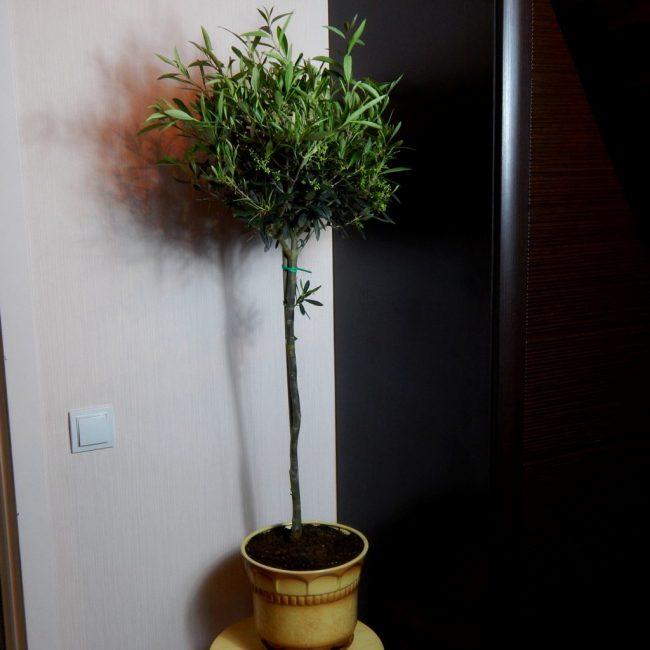 Освещение дерева должно быть достаточным, но без попадания на него прямых солнечных лучей