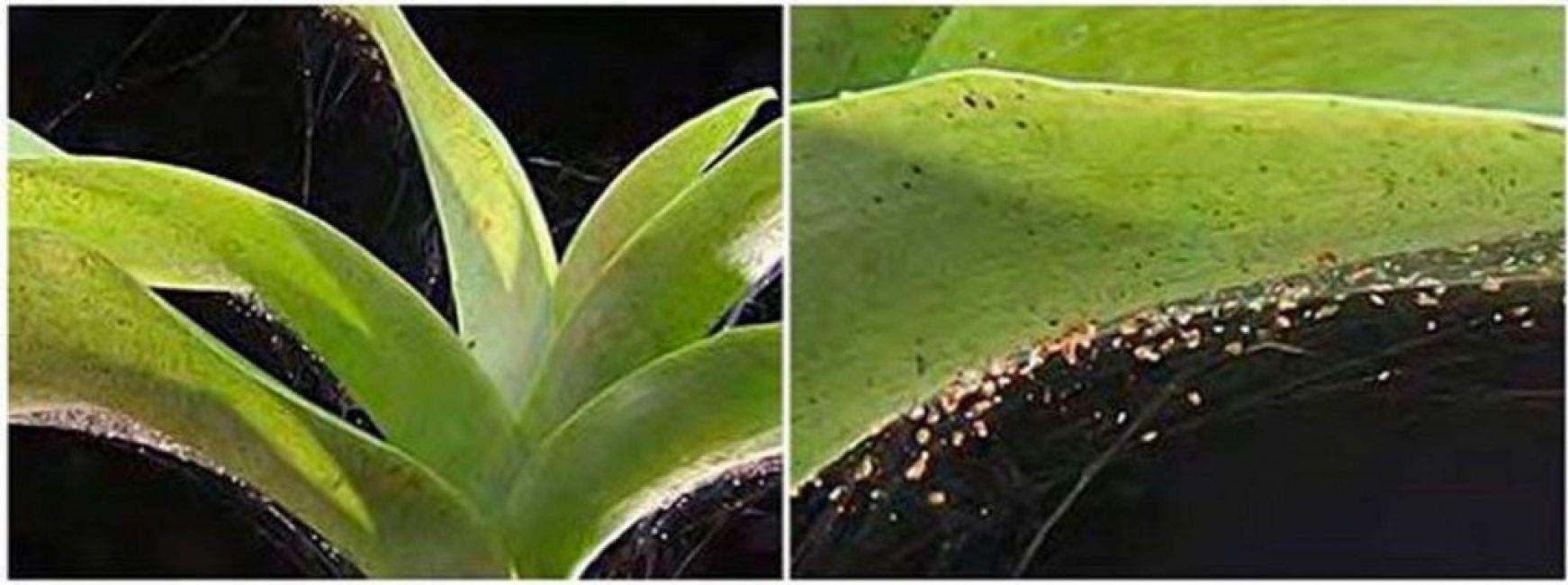 Паутинный клещ – коварный вредитель орхидей