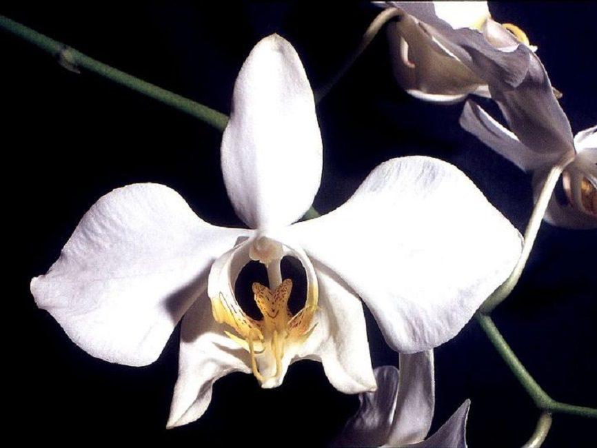 Phalaenopsis Amabilis: белые цветки со светло-сиреневым напылением по краю лепестка
