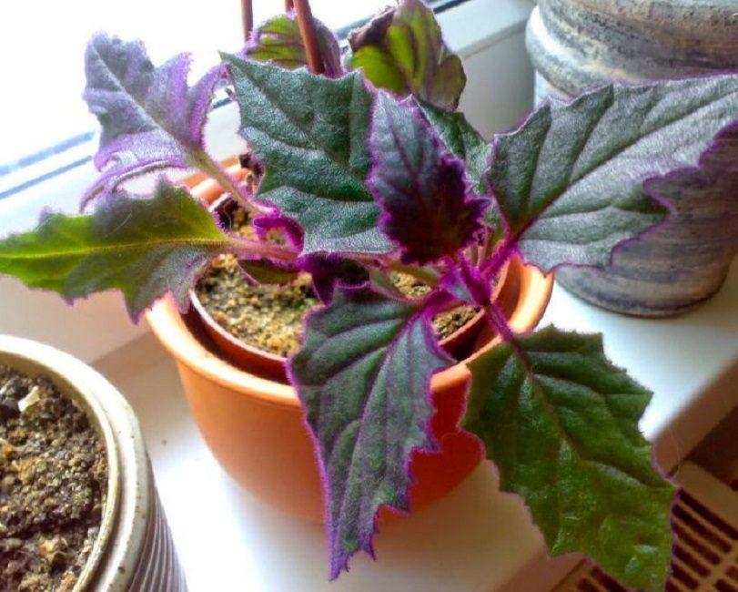 Растение выращивают на самом освещенном месте
