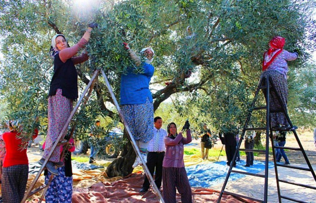 Сбор урожая оливок