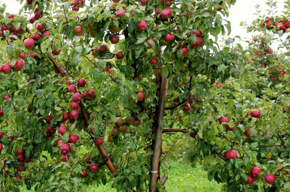 Сорт карликовой яблони Легенда