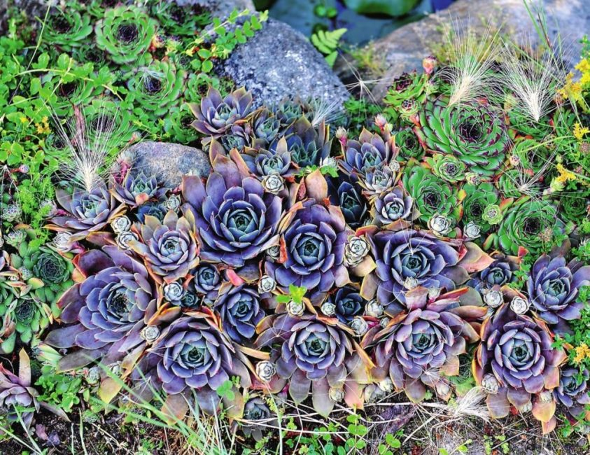 Цветок молодило