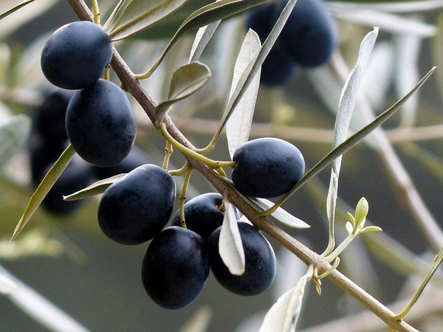 Ветвь оливкового дерева с плодами