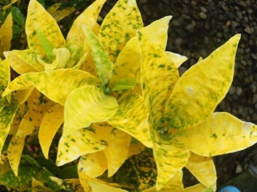 Яркая разновидность сразу же бросается в глаза окраской своей листвы
