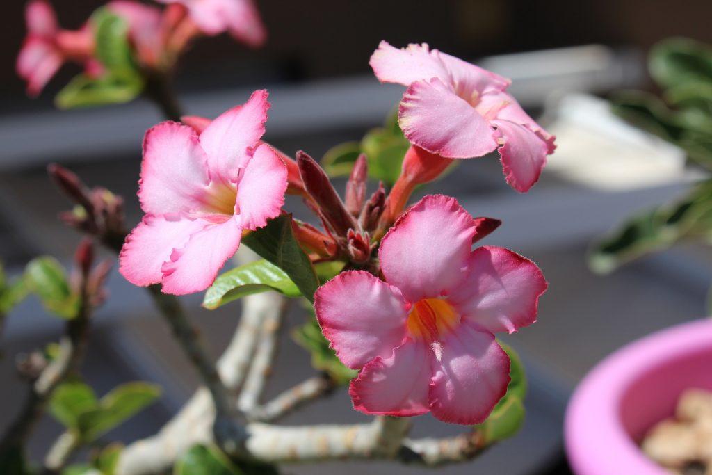 Цветок пустынная роза