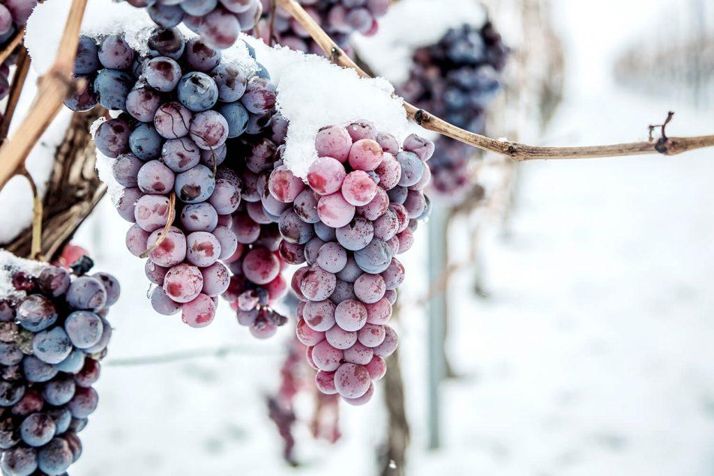 Как укрыть виноград на зиму правильно