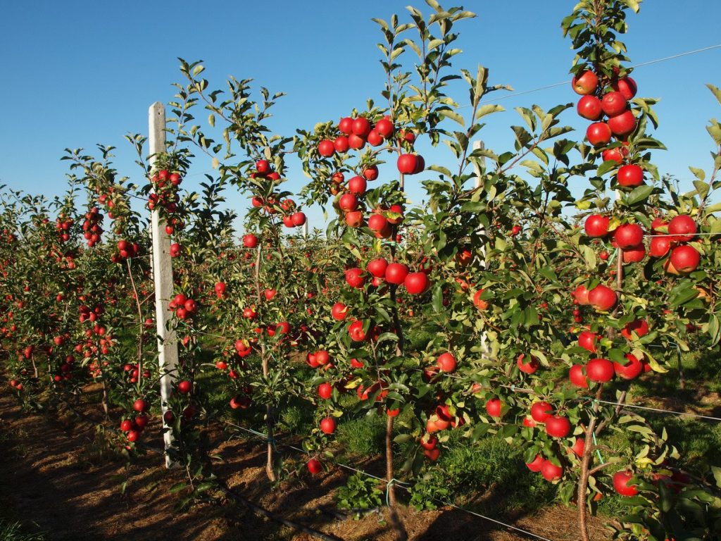 Сорт яблок гигант