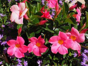 Дипладения (Мандевилла) в домашних условиях: виды, способы размножения, выращивания, пересадки, Причины отсутствия цветения и пожелтения листьев | (80+ Фото)