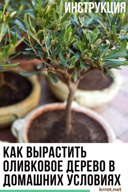 оливковое дерево в домашних условиях