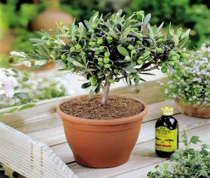 Как вырастить оливковое дерево в домашних условиях  – от выбора сорта, до сбора урожая | (50+ Фото и Видео)