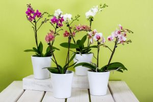 Орхидея фаленопсис в домашних условиях: уход после покупки, выращивание, правила размножения | (110+ Фото и Видео)