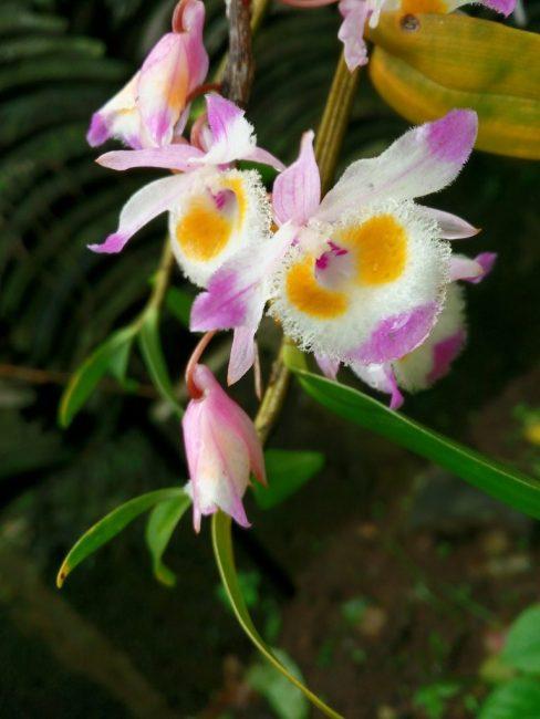 Тропическая красавица предпочитает яркий, но рассеянный свет.