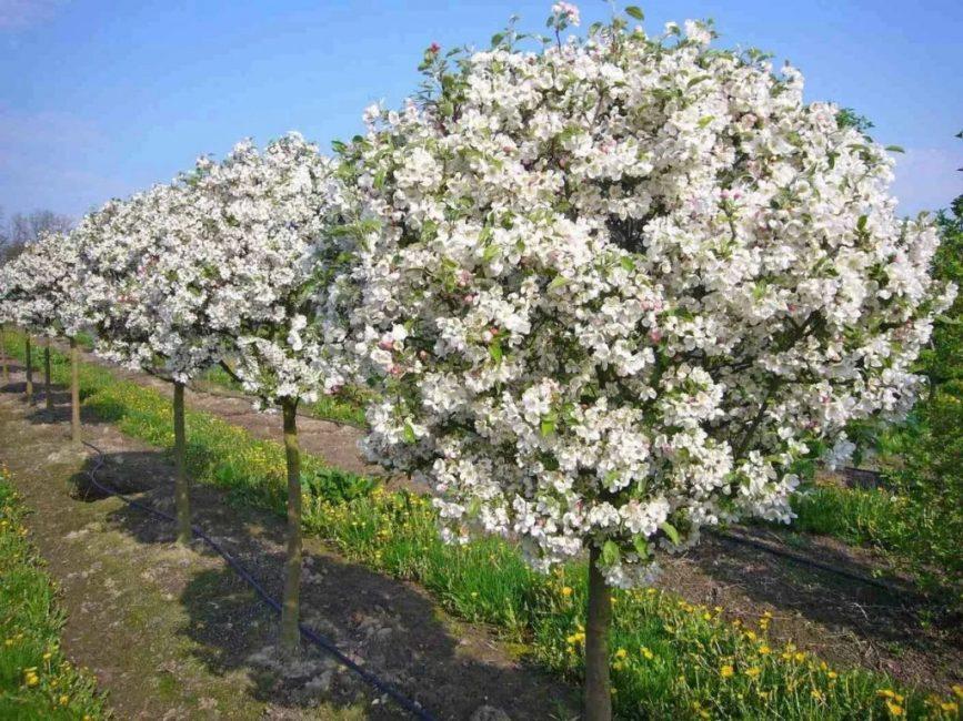 Карликовые сорта предназначаются для выращивания в небольших садах