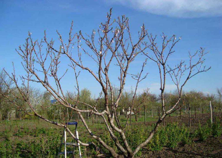 Правильно сформированная крона абрикоса