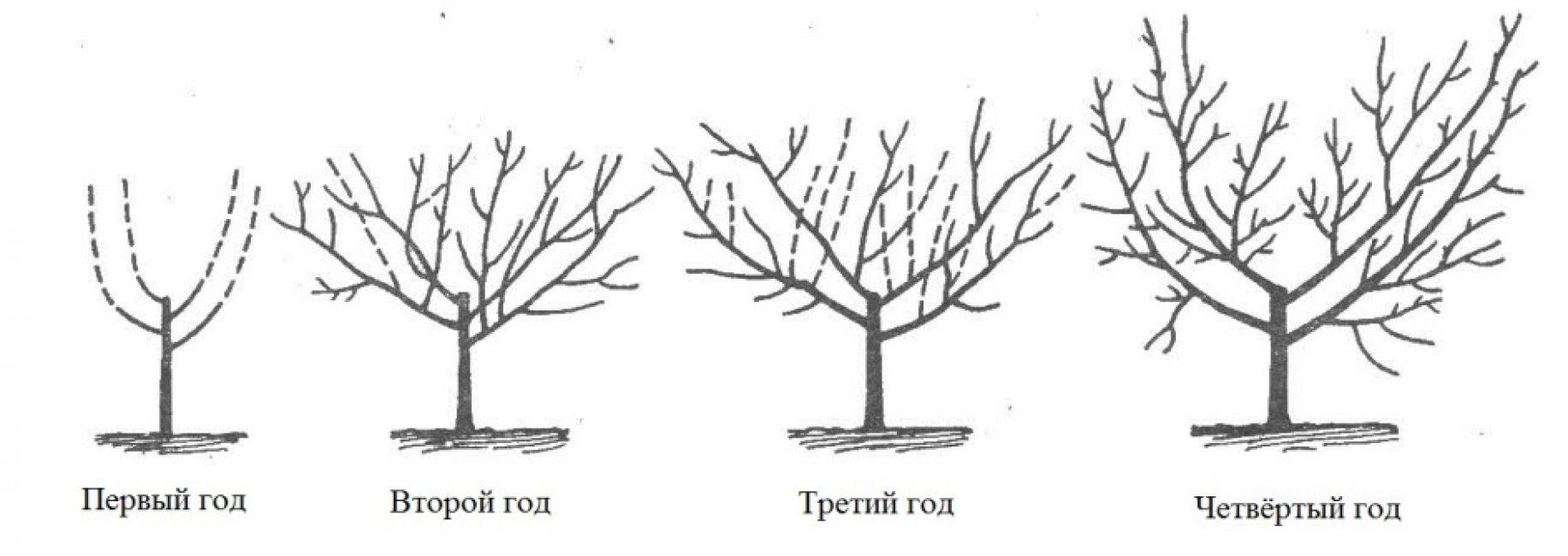 Формирующая обрезка персикового дерева