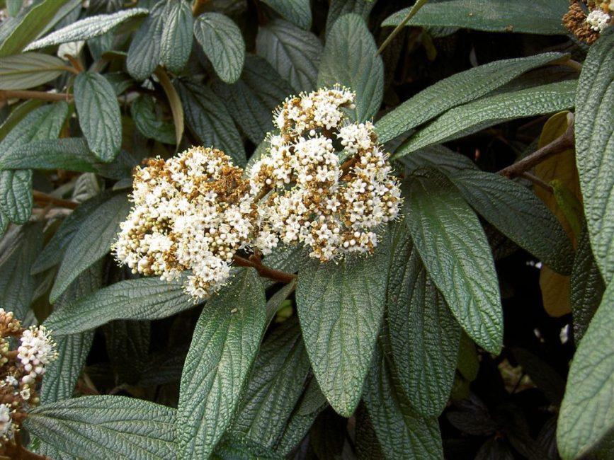 Калина морщинистолистная (Viburnum rhytidophyllum)