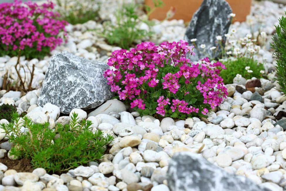 Растения для каменного сада