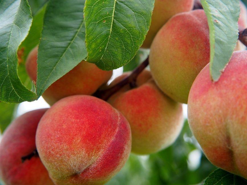 Плоды среднеспелых персиков можно получить уже в конце июля