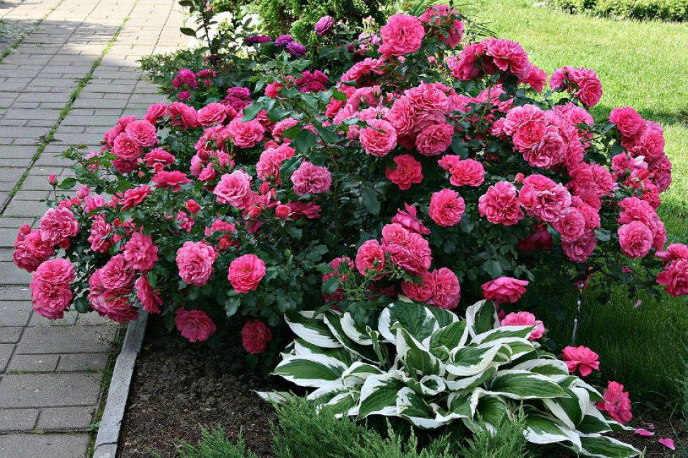 Долгая продолжительность и красочность цветения
