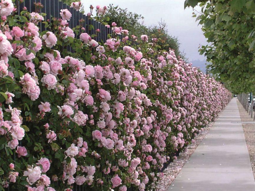 Шикарное цветение в комфортных условиях