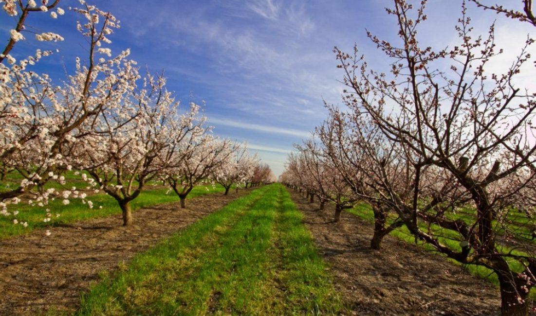 Расстояние между рядами в абрикосовых посадках должно быт на 1-1.5 м шире, чем между деревьями
