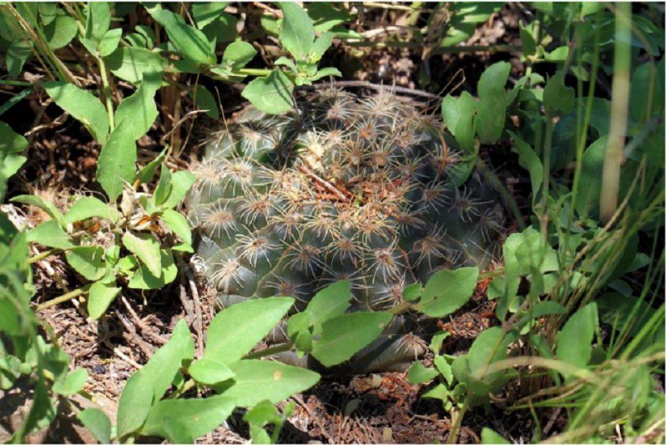 Вид Gymnocalycium affine в дикой природе, Аргентина