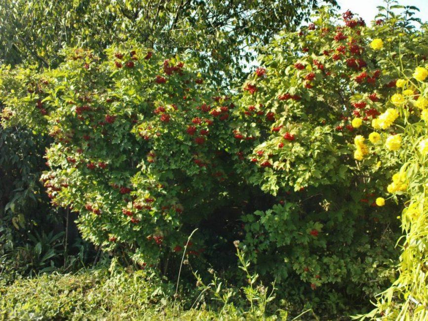 Крупный куст во время плодоношения