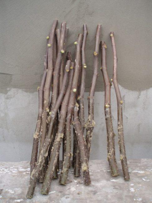 В качестве черенков используют ветки побегов длиной до 20 см, на которых имеется 4-5 почек