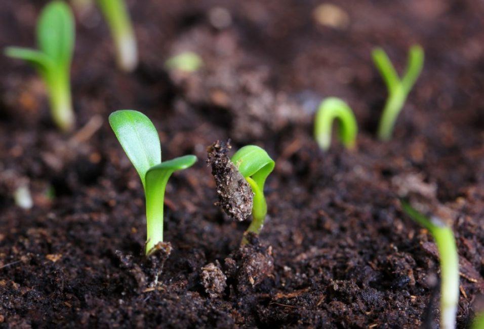 Первый полив совершают только при появлении зеленых ростков