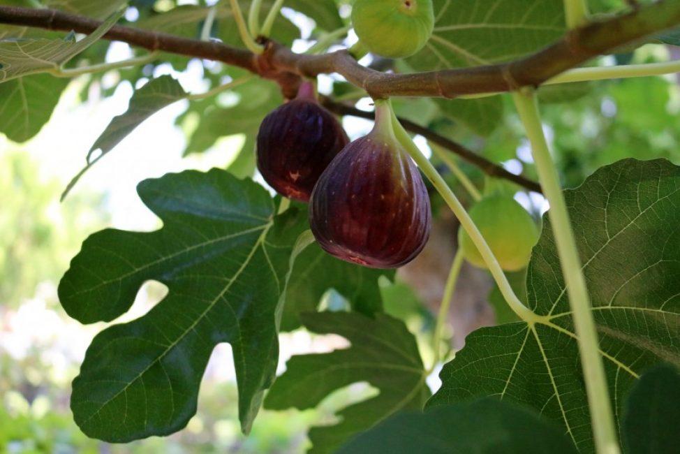 Ветка смоковницы с созревшими плодами