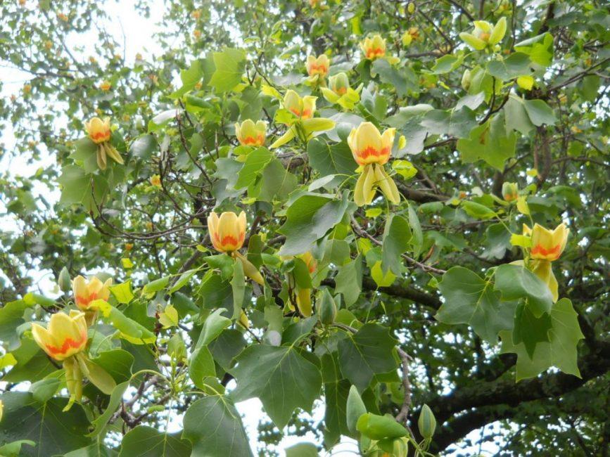 Цветение фигового дерева