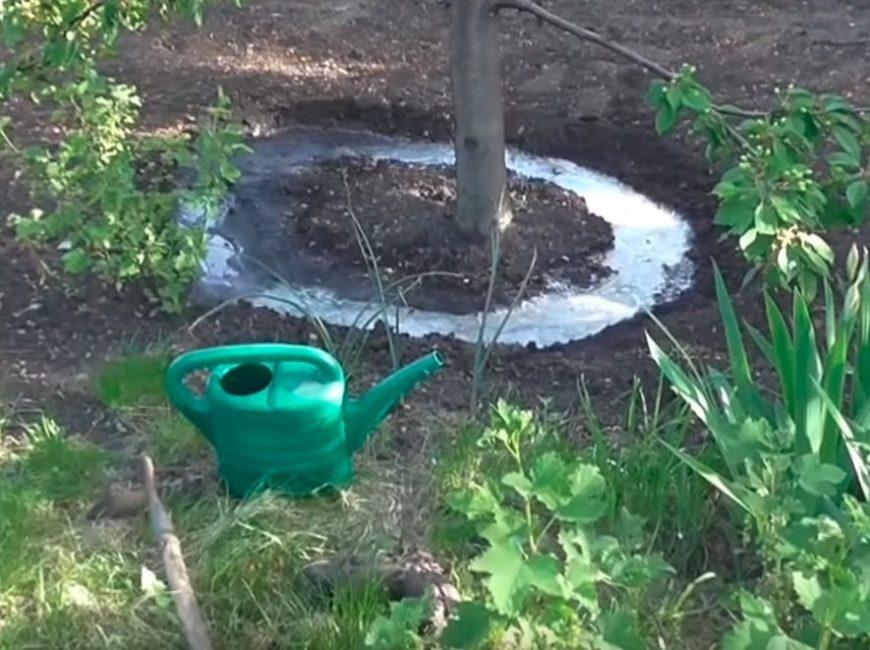 Поливы дерева лучше осуществлять в приствольный круг